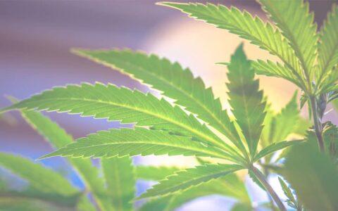 Cannabisfrø-lovlig